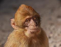Magot monkey (JLM62380) Tags: macaque magot macaca barbarie singe monkey animal primate maroc morocco azrou