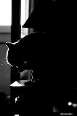 Antonio (Сonstantine) Tags: british blackandwhite blackwhite bw canon catslife cat catsoftheworld catscatscats meowmeow photo pic animals
