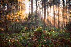 The Remnant (der_peste (on/off)) Tags: raysoflight raysofgod tree treestump stump forest soil duff woods woodland wald baumstumpf moos light sunlight