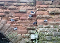 2019_11_150008d (Gwydion M. Williams) Tags: pigeons coventry britain greatbritain uk england warwickshire westmidlands