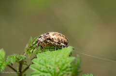 Nature (Kathy Horniblow) Tags: nature spider fly arachnid