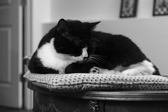 Stella Sleeps (Modkuse) Tags: straightoutofcamera sooc nopostprocessing monochrome blackandwhite bw cat animal creature sleeps fujifilm fujifilmxt2 xt2 fujinon fujinonxf1855mmf284rlmois xf1855mmf284rlmois acros acrossimulation xt2acros fujifilmxt2acrossimulation