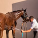 Washing a horse after a race with a hose. Cooling off