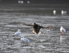 About to Land on Ice - Best viewed in (L)ightbox. (Jason Prince Photography) Tags: nikon sigma super telephoto d7200 150mm 600mm mallard drake greenhead deans eliburn reservoir livingston west lothian scotland jason prince photography november 2019 wildfowl wildlife
