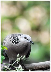 """I never tried quitting and I never quit trying."" (Ramalakshmi Rajan) Tags: nikon nikkor70300mm nikond5000 birds bird spotteddove inmygarden quotes"