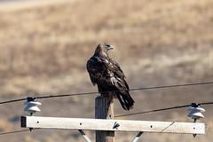 November 17, 2019 - Golden eagle keeping watch. (Tony's Takes)