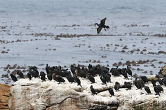Cape Cormorants-7D2_7167-001 (cherrytree54) Tags: cape point state park town south africa canon7dmkii sigma 150600 cormorants