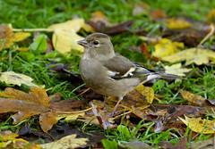 Female Chaffinch --- Fringilla coelebs (creaturesnapper) Tags: maplelodge uk europe chaffinch fringillacoelebs birds finches