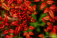 Holiday Reds (T i s d a l e) Tags: tisdale holidayreds nandina leaves berries autumn fall november 2019 se north carolina