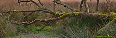 'The End is at Hand' (henkmulder887) Tags: noordseveld drenthe zeijen peest heide heideterrein neanderthalers vernatting water boom mos groen bruin holland november