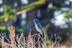 California scrub jay, Point Lobos, Carmel, California (amy buxton) Tags: california californiascrubjay northerncalifornia pointlobos bird scrubjay thegeniusofbirds jenniferackerman