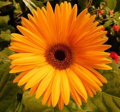 THE BEAUTY OF CALENDULA (lulukiwi86) Tags: plant flower calendula yellow beauty fleur flor macro closeup