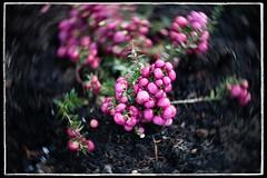 Popping Purple (Alex . Wendes) Tags: petzval55f17mkii petzval55 z6 nikonz6 lomography purple berries purpleberries