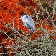 Red and Grey (Croydon Clicker) Tags: bird heron grey red tree branches leaves kelseypark beckenham kent bromley london nikon sigma