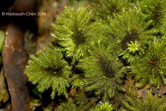 Unknown Moss (Wonder Kitsune (Catching up !)) Tags: mosses mossyforest montane montaneforest montaneforests bryophytes moss mtkinabalu mountkinabalu sabah floraofborneo floraofsabah