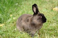 Toki (Tjflex2) Tags: bunny rabbit conejo lapin lagomorph cute furry fuzzy outdoors