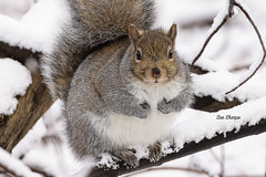 Grey Squirrel (stitchersue) Tags: squirrel greysquirrel rodent animal winter begging mudlake ottawa ontario canada