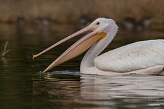 The scoop (Jasper's Human) Tags: whitepelican bird