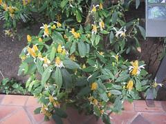 TR - 010 Golden Shrimp plant (d.kevan) Tags: bush shrub leaves flowers madrid goldenshrimpplant yellow peru acanthaceae lutea arganzuelahothouse pachystaschystutea