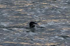 Fin de journée aux abords de l'Aber Wrac'h (Mhyrdin) Tags: finistère bretagne aberwrach plongeonimbrin birds oiseaux