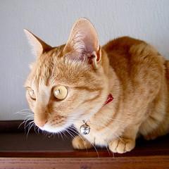 What she was watching is reflected in her eyes. 彼女の瞳に写っています。 #cat #猫 #ネコ #ねこ #茶トラ #orangecat #日本 #Japan #Katze #chat #gatto #gato #feles #кошка #KAT #gato #??? #ko?ka #kass #муур #pisic?