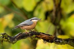Sittelle torchepot - Eurasian Nuthatch (Serge Lemaire) Tags: automne bird birdwatching campagne forêt nature oiseau ornithologie ornithology wildlife