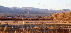 Safe Haven -- Sandhill Cranes (Grus canadensis); Bosque del Apache NWR, NM [Lou Feltz] (deserttoad) Tags: bird wildbird nature wildlife refuge flight goose cranes water waterfowl reflection newmexico