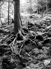roots (Darek Drapala) Tags: roots root trees tree forest bw blackwhite blackandwhite nature panasonic poland polska panasonicg5 snieznik mountains lumix light