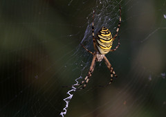 Epeire fasciée - Dompierre/Fribourg/CH_20190804_026-1 (Patrick Monney) Tags: epeirefasciée argiopefrelon argiopebruennichi waspspider argioperayée argiopefasciée frelon epeirefrelon wespenspinne zebraspinne tigerspinne seidenbandspinne arañatigre arañaavispa arañacestera аргиопабрюнниха паукоса aranéidés araneidae araignée spider spinne faunesauvage wildlife araignéesdesuisse spidersofswitzerland suisse schweiz switzerland fribourg freiburg cantondefribourg broye belmontbroye dompierre dompierrefr