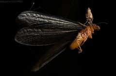 Orbweaver with termite alate prey (pbertner) Tags: arachnid spider termite rainforest rainforestexpeditions amazon southamerica peru perunature madrededios puertomaldonado refugioamazonas tambopata nocturnal understory
