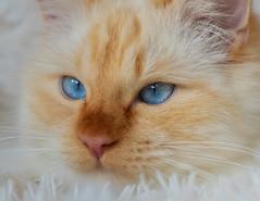 Waiting for nicer weather .... (FocusPocus Photography) Tags: tofu dragon katze kater cat blaueaugen blueeyes tier animal novemberblues