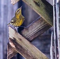 Tiny Visitor (ACEZandEIGHTZ) Tags: warbler lattice wood foraging macro closeup nikond3200 backyard birdwatcher nature bird small songbird yellow wings winged coth alittlebeauty coth5 sunrays5