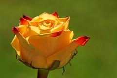 Golden glow (juanita nicholson) Tags: rose yellow red petals backlit closeup macro green bokeh backlighting nature flower