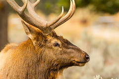 Side view (ChicagoBob46) Tags: bullelk elk rut yellowstone yellowstonenationalpark nature wildlife ngc coth5 npc naturethroughthelens
