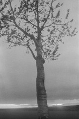 Cherry tree (verblickt) Tags: zenit zenite fp4 ilford negative film negativefilm greyscale blackandwhite nature fog foggy rural