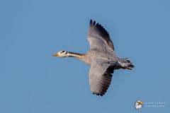 Bar-headed Goose (Simon Stobart) Tags: barheaded goose anser indicus north england uk east