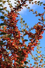 Sunny Berries (zeity121) Tags: sheffield bluesky berries bush autumncolours