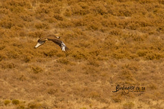Ludwigs Bustard, Gariep area, Eastern Cape, Oct 2019 (roelofvdb) Tags: 2019 232 bustardludwigs bustards date freestate gariep ludwigsbustard october place southernafricanbirds year