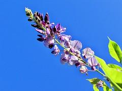 Dreaming. (salsol - Sham'C ♈) Tags: sky soft dublin flowers flora flor garden jardim light colour beauty beleza beautiful bright nature neighbourhood photography blue ireland europe wild