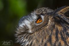 What do I see... (ThruKurtsLens.com) Tags: 2019 baldeagle eagle fall flying greatblueheron kurtwecker naturephotographer nikon tacksharp thrukurtslenscom wildlifephotographer