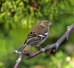 Chaffinch - Female (grahamnichols47) Tags: chaffinch