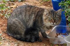 Gatito comiendo. (In Dulce Jubilo) Tags: gato cat andalucia fotografía photography animal andalusia animals kitten cute food drink comiendo bebiendo pet espagne españa spanien spain
