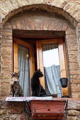 una coppia alla finestra (mat56.) Tags: finestra window gatto cat gatti cats animali animals sangimignano siena toscana tuscany antonio romei mat56 coppia couple