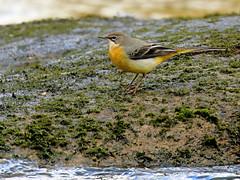 Grey Wagtail (robin denton) Tags: greywagtail motacillacinerea nature bird wildlife yorkshiredales riverwharfe wharfedale