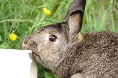 Sherman, this is mine. (Tjflex2) Tags: bunny rabbit conejo lapin lagomorph cute furry fuzzy outdoors