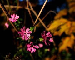 Autumn colours (Allan Rostron) Tags: yorkshire york flowers autumn