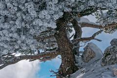 Arbre enneigé au Margériaz - Savoie (Lumières Alpines) Tags: didier bonfils blue sky cloud mountain montagne automne outside europa rando bleu ciel goodson lumieres alpines goodson73 snow ski soleil neige savoie margeriaz