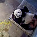 Bei Bei (I think my Keepers call me for my outside hammie treat. I hope I don't disappoint my visitors but I wanna relish my last mid-day, inside hammie nap as long as I can.) 2019-11-18 at 1.14.36 PM
