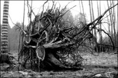 gefallen (jo.sa.) Tags: baum wald lebensraum analog analogefotografie monochrom kleinbild schwarzweiss bw sw schwarzweissfotografie