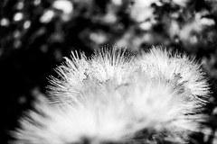 Fireworks (R✿an ℉✿urie) Tags: flickrlounge weeklytheme blackandwhite nikon d3400 dx nikkor 1855mm kitlens afp flora floral flower plants nature